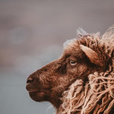 A brown sheep looking wistful on the Faroe Islands -  Isole Faroe Îles Féroé